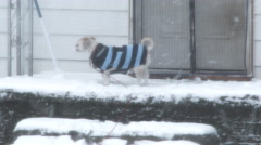 Sweater Dog And House Cat Bare The Snow Stock Footage