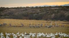 Cranes Between Corn Field and Snow Goose Stock Footage