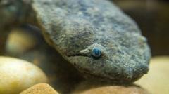 Salamander Hellbender - stock footage