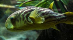 Cross River Puffer Fish Stock Footage