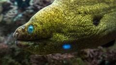 Moray Eel green up close Stock Footage