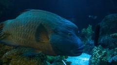 Humphead Wrasse Big Fish - stock footage