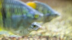 Orangeback Rainbowfish Stock Footage