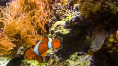 Clownfish Stock Footage
