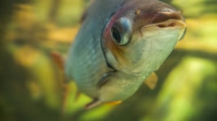 Fish Amazon Eye Bulge Stock Footage