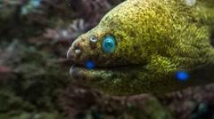 Moray Eel up close Stock Footage