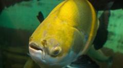 Fish Amazon Big Yellow Stock Footage