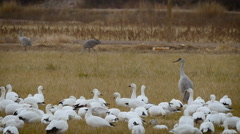Slow Pan of Geese and Cranes in Grass Field Stock Footage