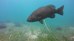 Smallmouth Bass- Red eye nice contrast Stock Footage