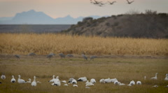 Cranes and Geese in Grassy Field Feeding Stock Footage