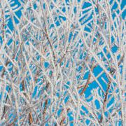 Stock Photo of Foliage Covered in Hoar Frost