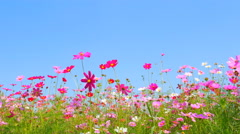 Panning shot of cosmos flower field with blue sky Stock Footage
