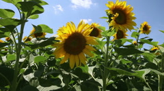 Sunflower field dolly shot - stock footage