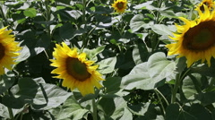 Sunflower field dolly shot Stock Footage