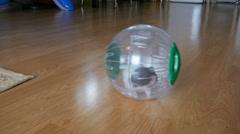 Hamster pet in wheel, plastic ball inside home Stock Footage