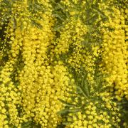 Wattle branch texture pattern background Stock Photos