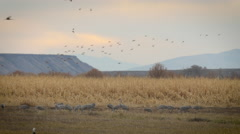 Cranes and Ducks Next to Corn Field at Dusk Stock Footage