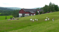 Goat and sheep herd view at norwegian countryside village, norway Stock Footage