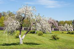 Blossoming apple orchard in spring Kuvituskuvat