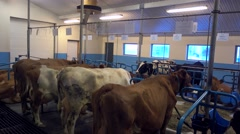 Some milk Cows In cowshed At Akureyri country side,iceland - stock footage
