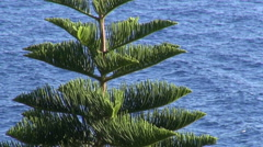 Tropical araucaria tree Stock Footage