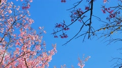 Wild Himalayan Cherry spring blossom Stock Footage