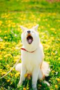 Akita Dog or Akita Inu, Japanese Akita Puppy Sitting In Spring M Stock Photos