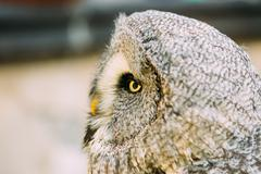 Stock Photo of The great grey owl or great gray owl - Strix nebulosa