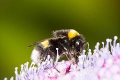 Bumblebee on a hydrangea flower Stock Photos