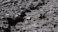 Thousands of ants enter and leave the anthill under asphalt Stock Footage