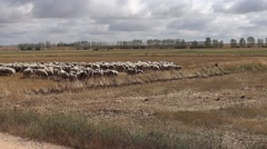 Shorn flock of sheep go on a stubble and skipping an irrigation channel - stock footage