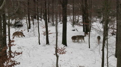 Gray wolf (Canis lupus) pack in winter forest - stock footage