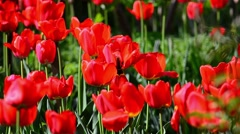 Field red tulips in the garden of a house Stock Footage