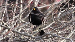 Blackbird sits on bare branches of shrub dry Stock Footage