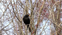 Blackbird sits on bare branches of shrub with many dried fruits Stock Footage
