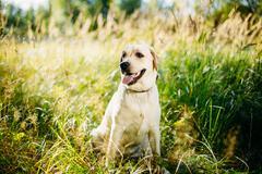 Stock Photo of White Labrador Retriever Dog Sitting In Grass, Park Background