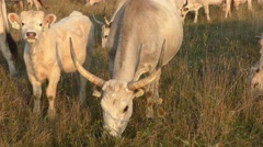 Stock Video Footage of Hungarian Grey Cattles or Steppe Cattles