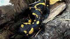 Stock Video Footage of close up the fire salamander from forest residues