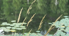 View of grass on the shore and water lilies on the lake at Lake Muskoka, Canada Stock Footage