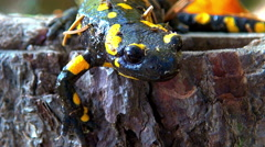 Stock Video Footage of Close up of a fire salamander in the remains of a wooden logs