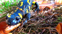 Stock Video Footage of Fire salamander walks between leaves and grass in the forest