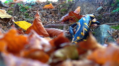 The Fire salamander escalates the rugged terrain forest - stock footage