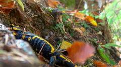 Fire salamander traverses forest vegetation - stock footage