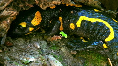 Stock Video Footage of Close up of a hidden fire salamander