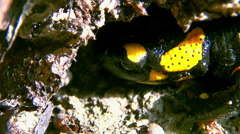 Close up of a fire salamanders seeking shelter dark Stock Footage
