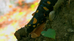 Stock Video Footage of Fire salamander retreats to climb a knoll
