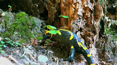 Stock Video Footage of Fire salamander climb rush the hole shelter