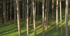 View of a sunlit coniferous forest and blue sky at Belfountain, Canada Stock Footage