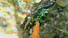 Fire Salamander waiting on a slope Stock Footage
