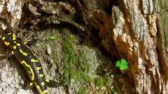 Fire Salamander is looking shaded area Stock Footage